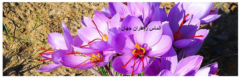قیمت خرید زعفران از کشاورز