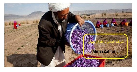 زمین مناسب برای کشت زعفران صادراتی
