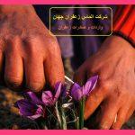 چرا باید پیازهای زعفران را به داخل خاک برگردانیم
