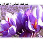 آموزش کشت زعفران گلخانهای
