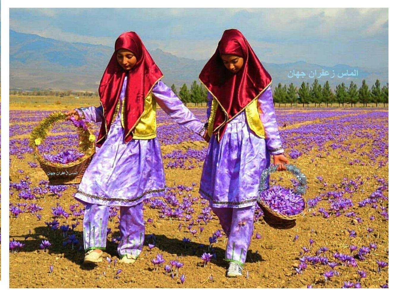 صادرات زعفران افغانستان - شرکت الماس زعفران جهان