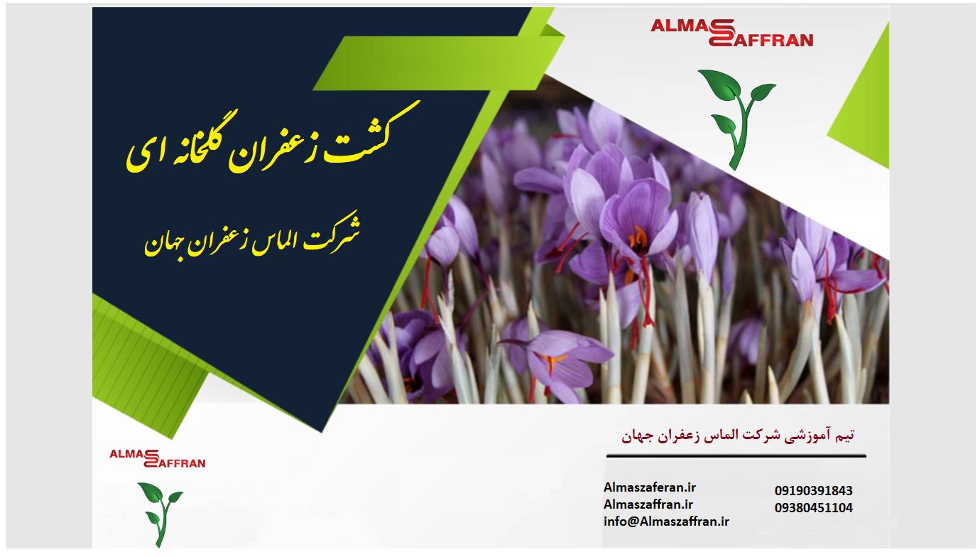 آموزش کاشت زعفران گلخانهای
