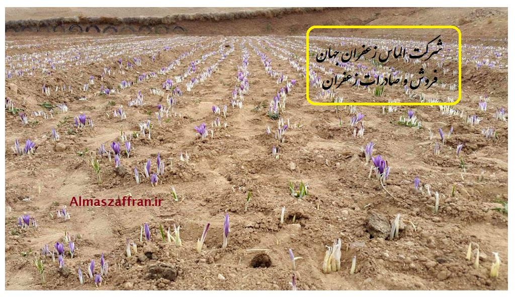 آموزش رایگان کشت زعفران گلخانه ای