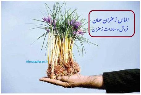 کشت پیاز زعفران گلخانه ای