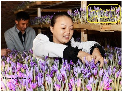 کاشت زعفران گلخانه ای