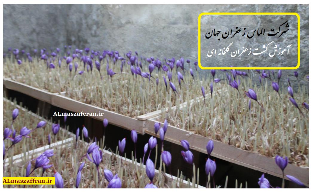 آموزش رایگان کشت زعفران گلخانهای و قیمت زعفران