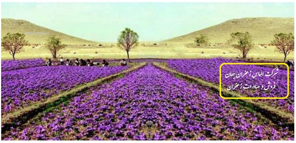 کشت زعفران گلخانهای