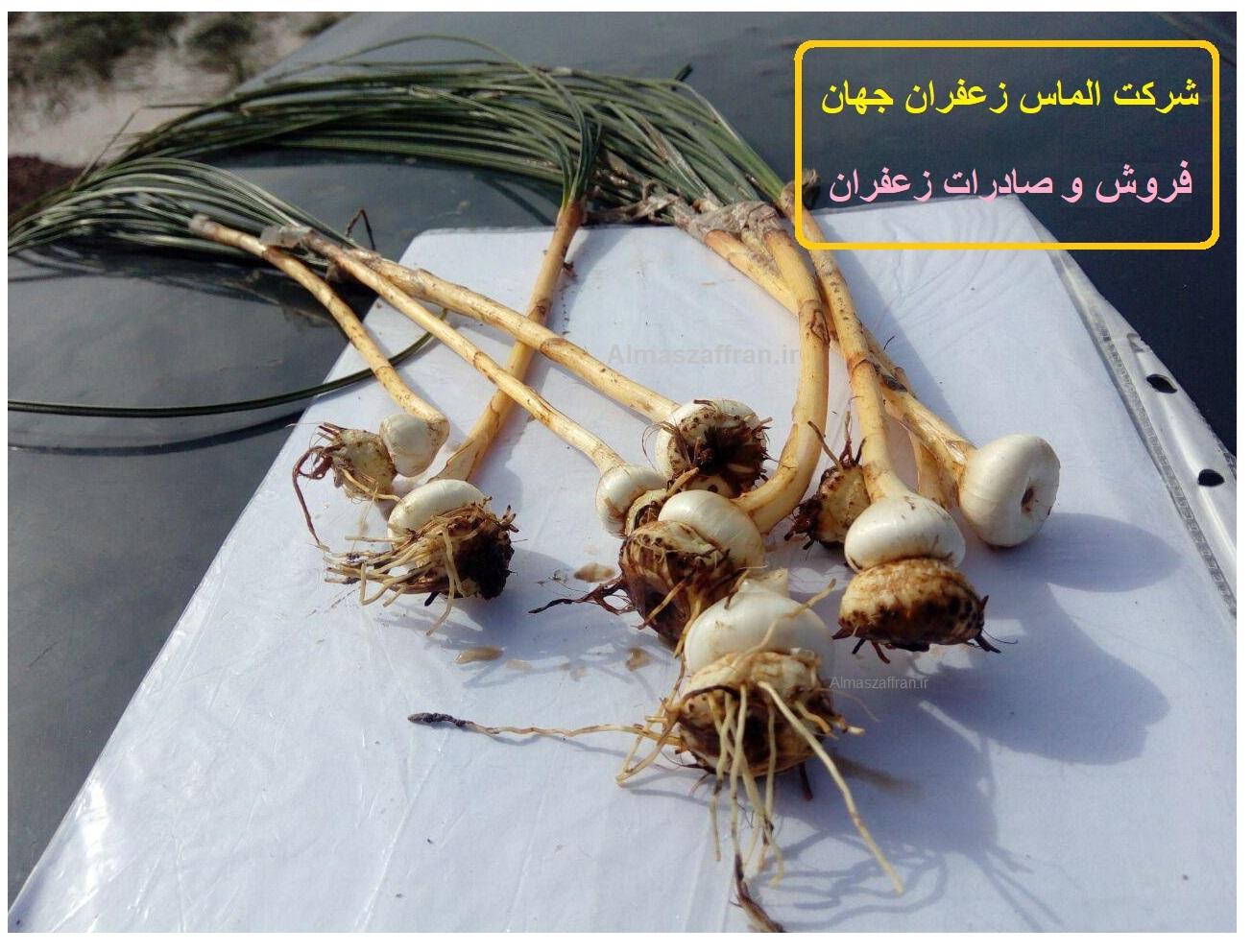 کاشت زعفران - تولید زعفران صادراتی - قیمت زعفران