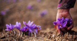 دومین تولیدکننده زعفران دنیا، اسپانیا