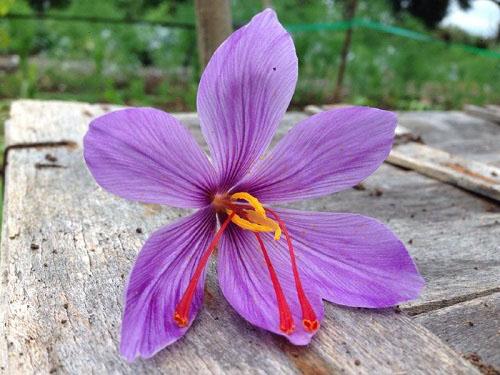 آموزش مقدماتی کشت زعفران در گلخانه