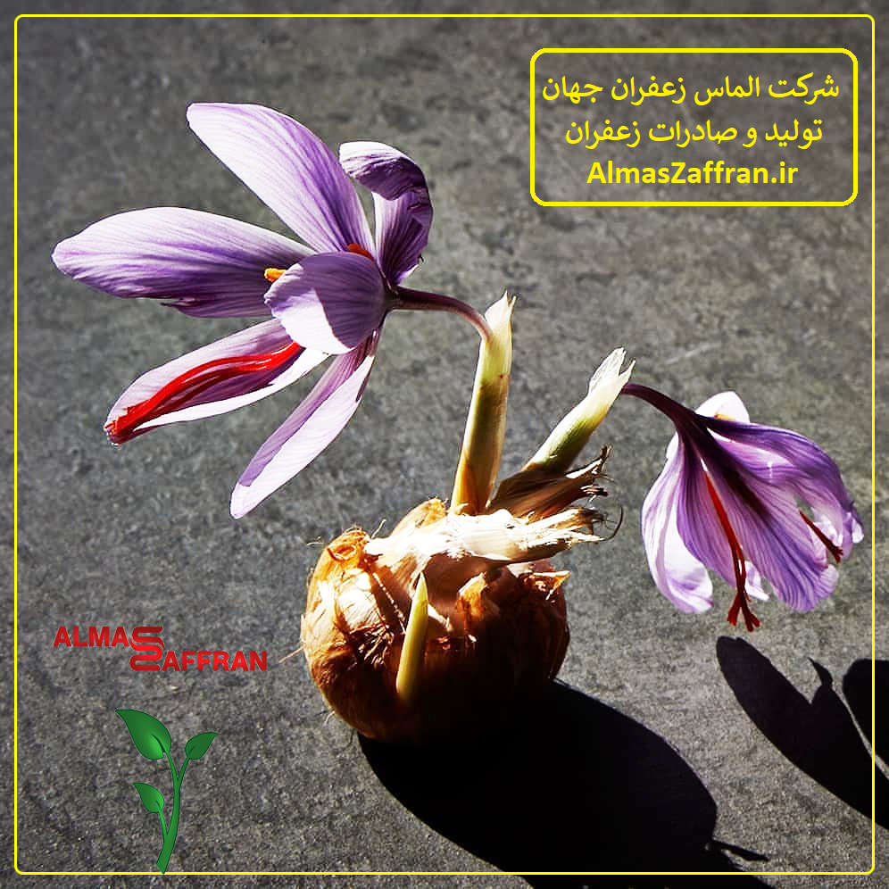 نگهداری پیاز زعفران در گلخانه