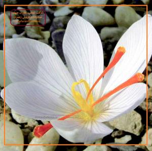 روش نگهداری از پیاز زعفران گلخانه ای
