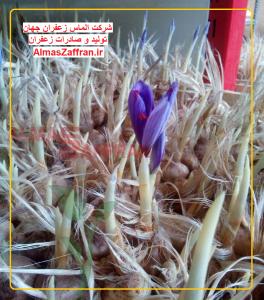 saffron-greenhouse-equipment