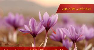 مشخصات زعفران پوشال