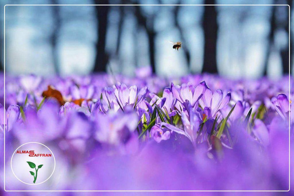 خرید زعفران برای بازار زعفران در اروپا