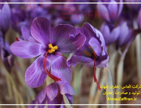 صادرات زعفران به عربستان